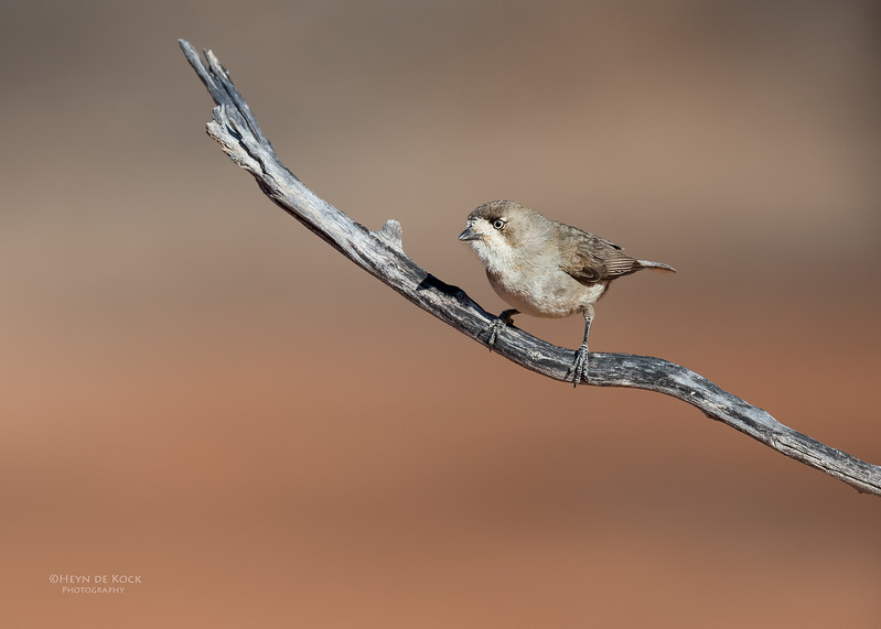 Southern Whiteface, Bowra, Cunnamulla, QLD, Aus, Sept 2017-2.jpg