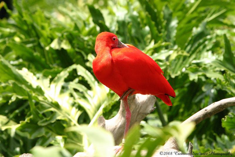 Scarlet Ibis3.JPG