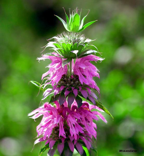 Wildflower 5-14-15 100.jpg