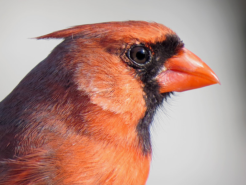 sx50_cardinal_portrait_629.jpg