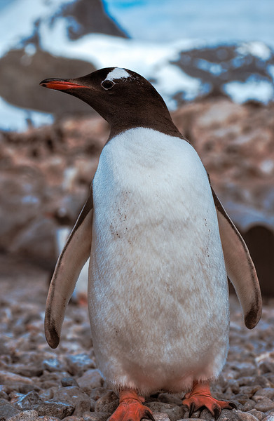 gentoo at cuverville 3-Edit.JPG