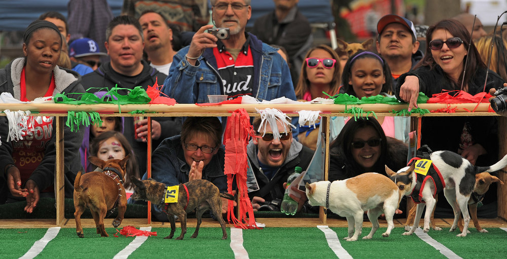. David Schmidt, third from right, yells at his dog Pearl. to head towards the finish line of the 3rd annual Chihuahua race set up at the Center of the Park on May 5th, 2013.  The top prize for this year\'s winner was $500. Most of the dogs seemed  perplexed by all the attention and ran back towards the starting gates rather than the finish line.  The annual Cinco de Mayo celebration took place at Civic Center Park on May 5th, 2103 in Denver, CO.  Highlights this year were local traditional dancing, a taco eating contest , local bands playing traditional mexican music and Chihuahua dog racing where 132 dogs raced for the top prize of $500.   (Photo by Helen H. Richardson/The Denver Post)