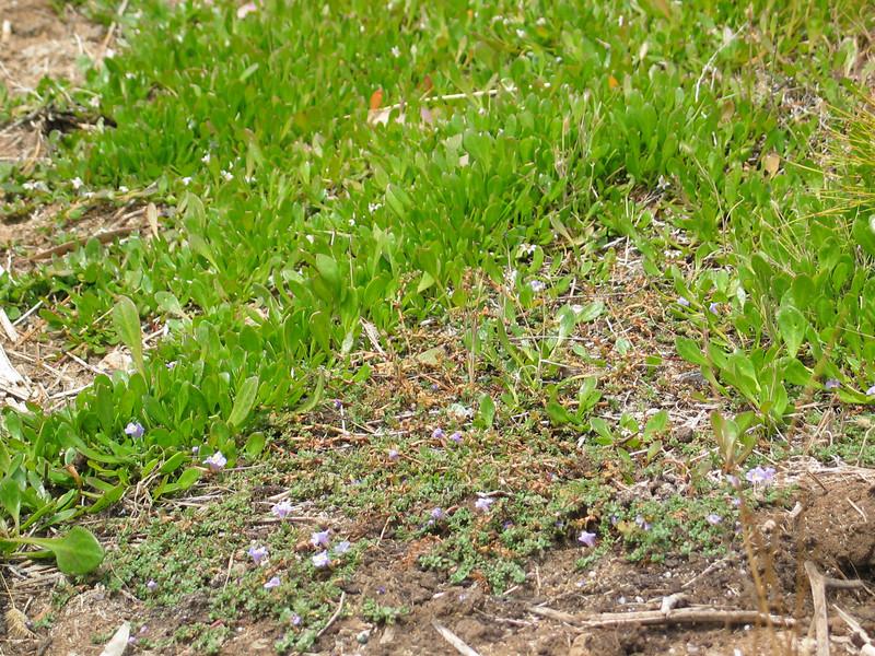 Selliera radicans / Shiny Swamp-mat