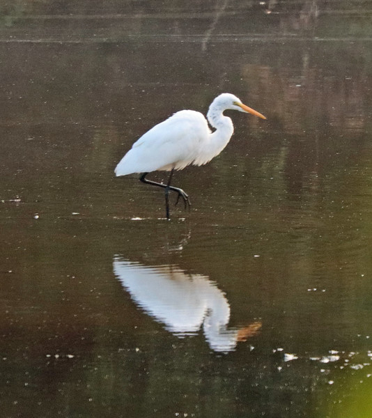 Great white egret 23