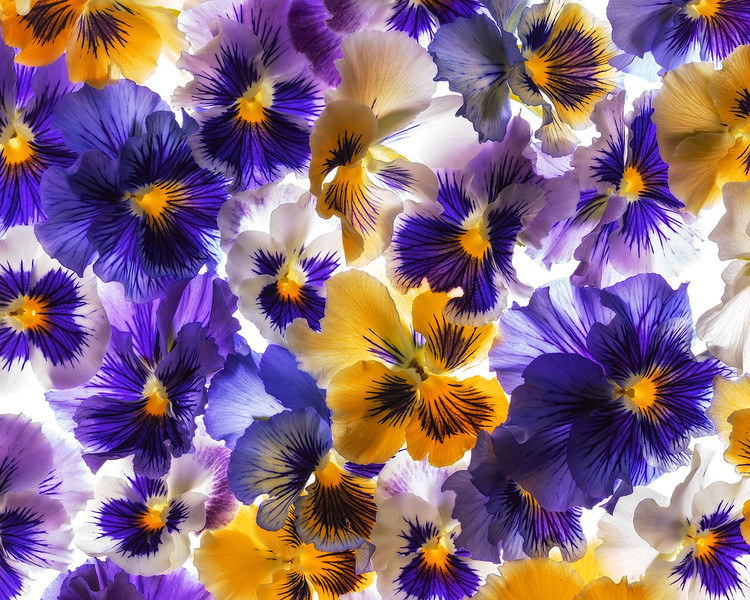 ruffled-pansies.jpg