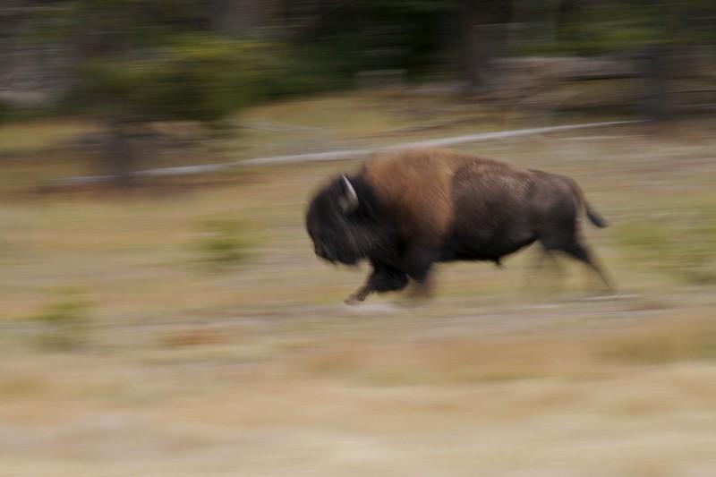Bison running Yellowstone _MG_4073.jpg