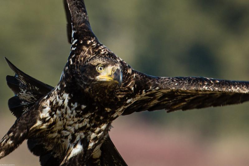 Bald Eagle 42.jpg