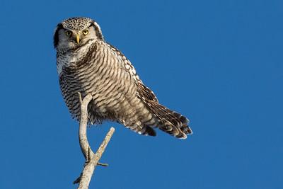 Northern Hawk Owl 1-2017