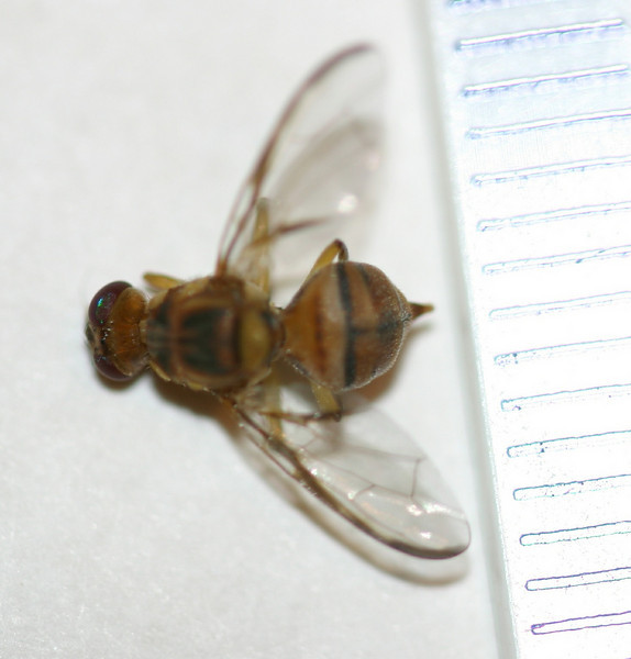 Mach Fukada (Hawaii Dept. of Agriculture) tentatively identified these flies as Bactocera sp. (cf. B. dorsalis or B. facialis) based on these images.  They were collected in Kihei (Maui, Hawaii) ca. 25 March 2006. Copyright © 2006 by Philip A. Thomas.  Contact imagesbypt@philipt.com for permission to use.