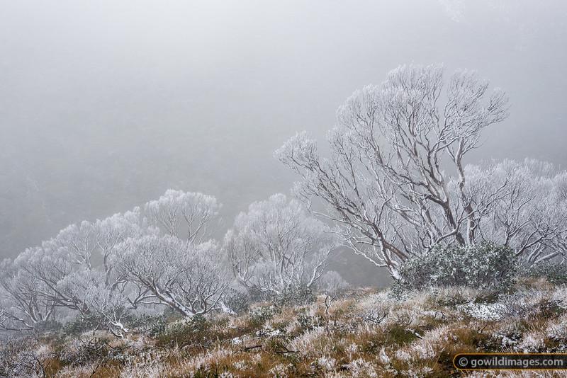 Snowy Gums