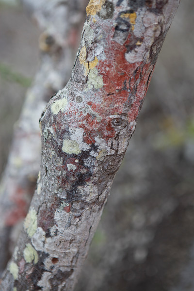 Colorful Lichen on dormant trees San Cristobal, Galapagos.jpg