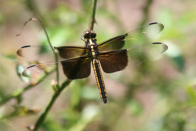 Dragonfly - Damselfly