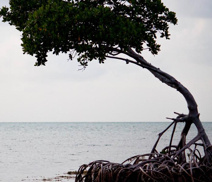 grassy key mangrove-2.jpg