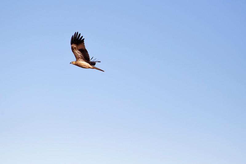 Boolardy Whistling Kites