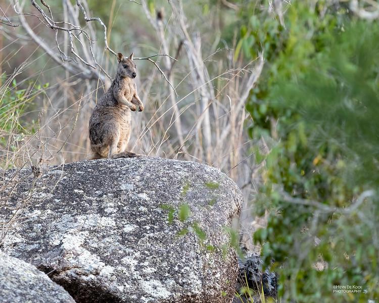 Mt Claro Rock-wallaby, Hidden Valley, QLD, Jan 2020-3.jpg