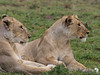 Two Lionesses - something in the distance catches their attention