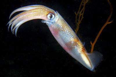 Squids & Octopus