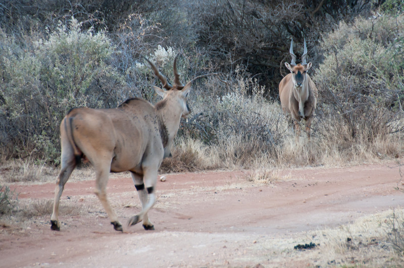 Pronghorns in Mattanu Private Game Reserve in South Africa