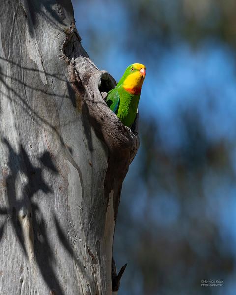 Superb Parrot, Deniliquin, NSW, Oct 2018-8.jpg