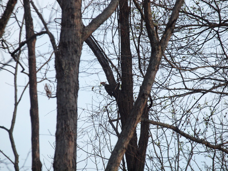 Pileated Woodpecker-014.JPG