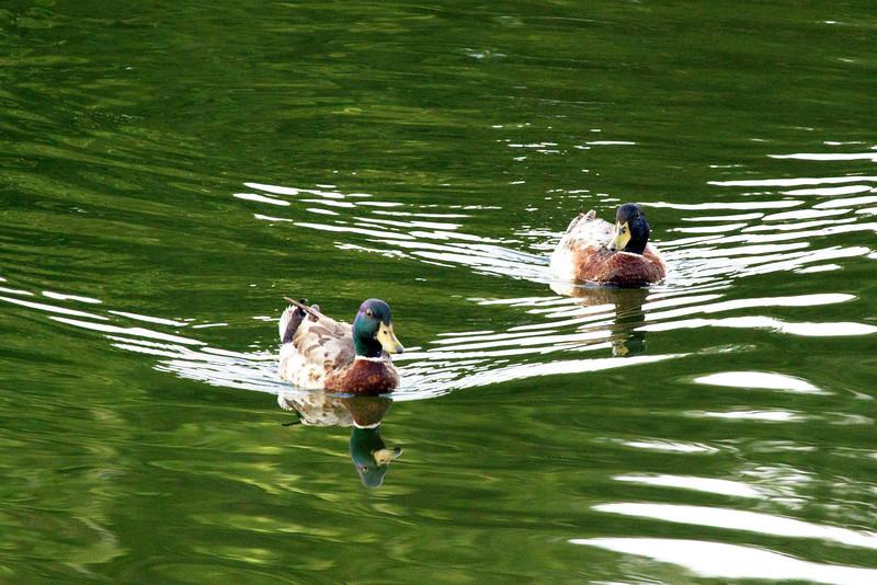 twomallardsswimming.jpg