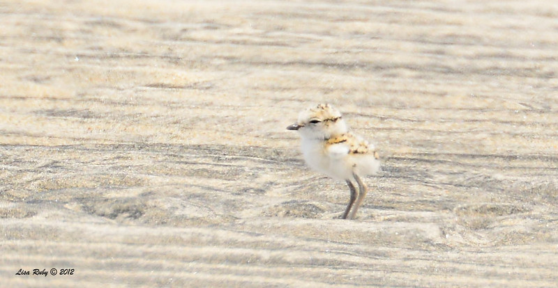 Snowy Plover -  6/15/2014 - Imperial Beach River Mouth area