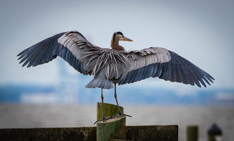 Blue Heron wingspan 123017 (1 of 1).jpg