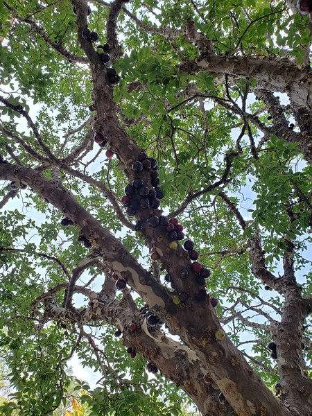 jabuticaba tree at cousin Heloisa's house