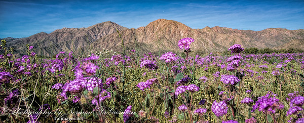 Flower Blooms at Borrego Springs