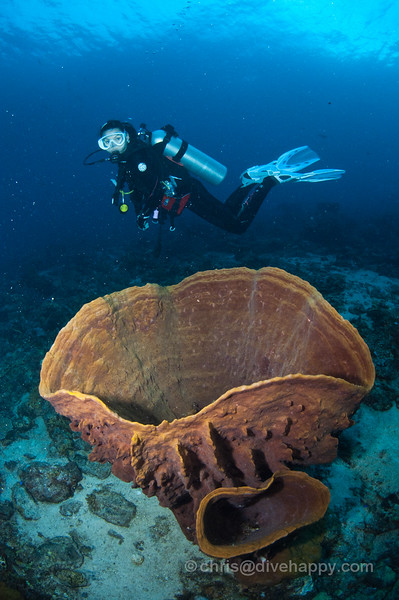 Barrel Sponges, Elephant Ears and Fans, Tanjung Mangguar, Cendrawasih Bay, Indonesia