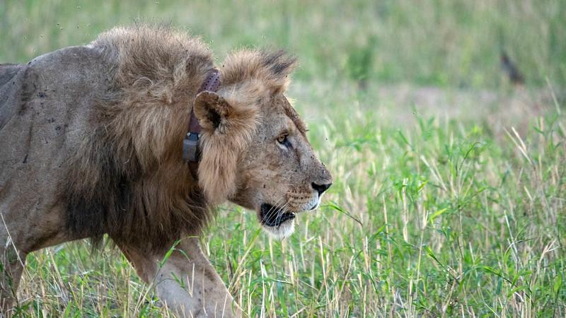 Tanzania-Tarangire-National-Park-Safari-Lion-17.jpg