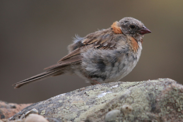Chincol, Rufous-collared Sparrow