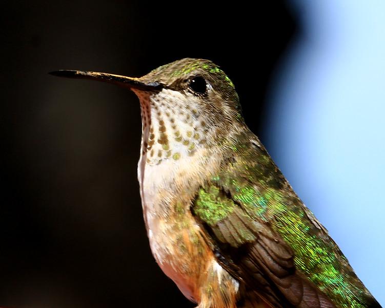 Humming Bird 230.jpg