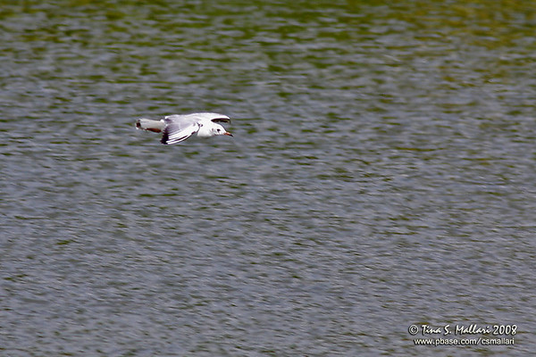 Gulls - Family: Laridae