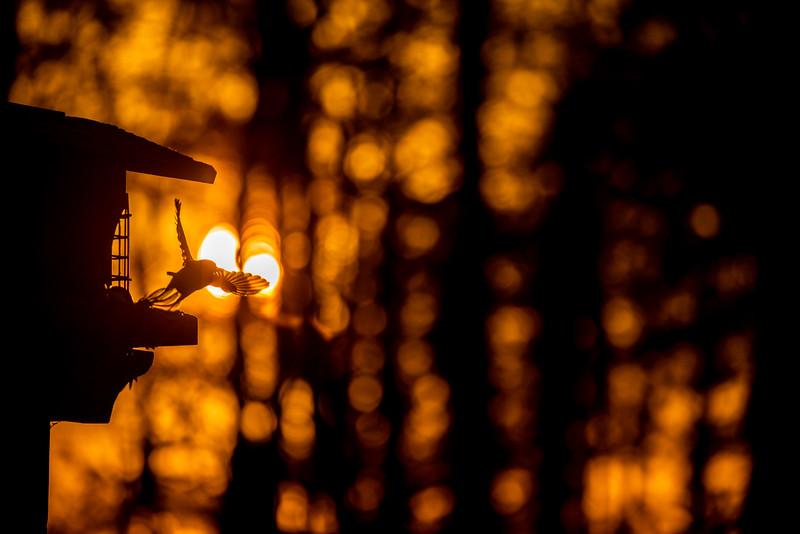 Black-capped Chickadee at feeder backlit backlighting Skogstjarna Carlton County MN  IMGC9370.jpg