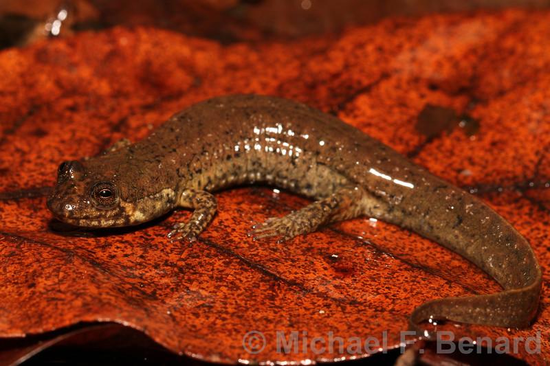 Blackbelly Salamander (Desmognathus quadramaculatus)