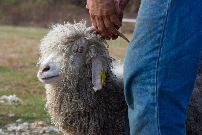 Angora Goat ready for shearing.