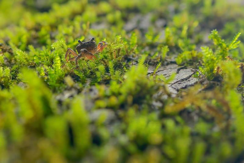Tree-Crab-Amboli.jpg