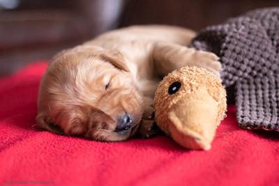 Rebelfire Goldens - Cutter x Arizona Puppies