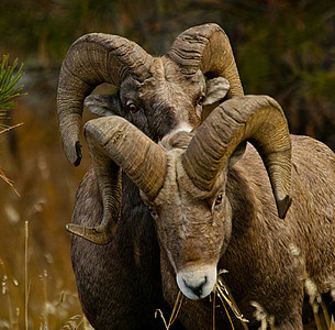Montana Rocky Mountain Sheep
