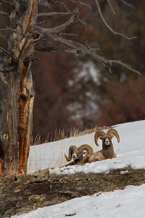 Big Horn Sheep & Mountain Goats