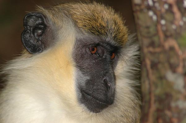 Barbados Wildlife Reserve (Jun 07)