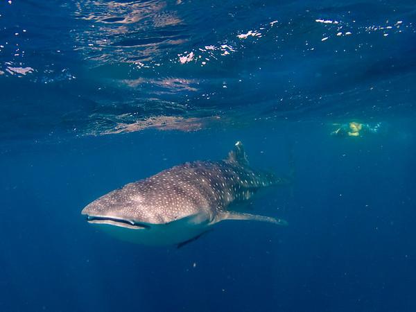Whale Sharks & Humpbacks