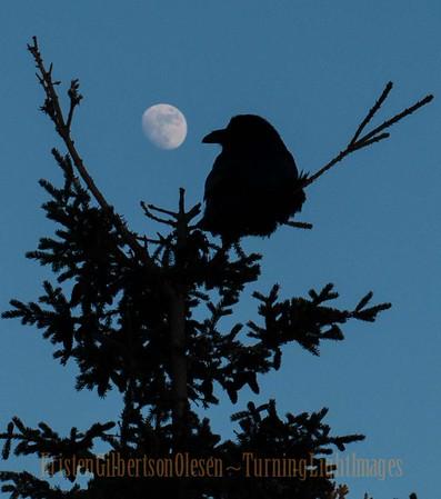 Corvus Corax ~ Raven