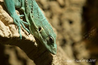 Misc Unknown Lizards
