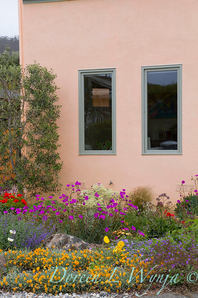 Mediterranean landscape; colorful drought tolerant front yard with contemporary architecture; Calandrinia spectabilis; deer resistant plants