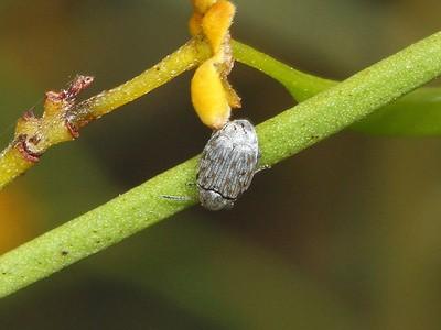 subfamily Bruchinae