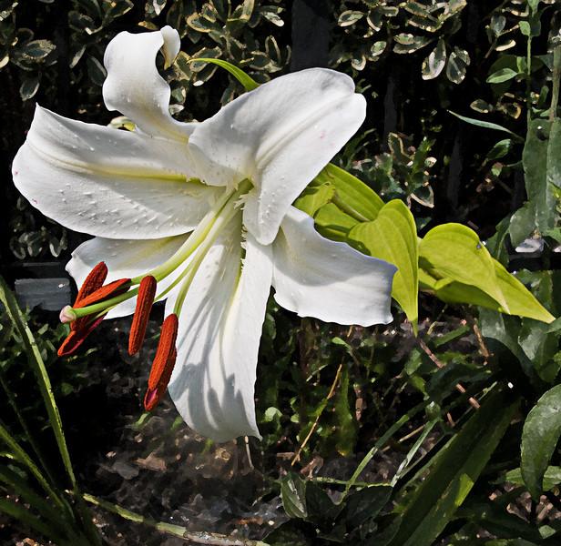 white lilly.jpg