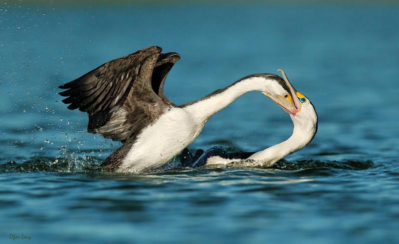 Pied Cormorant feeding MASTER.jpg