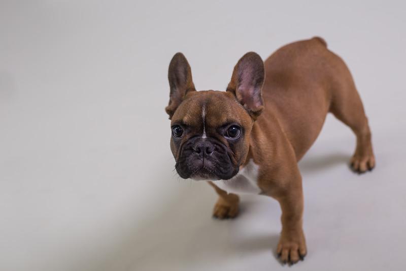 Edinburgh dog photography studio archie g